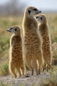 Meerkats watching